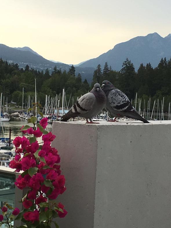 PigeonR-mating [MrsChengMeiLing]