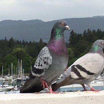 Rock Pigeons mating