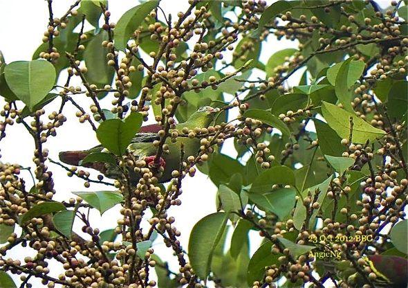 Thick-billed  Green-pigeon and <em>Ficus virens</em>