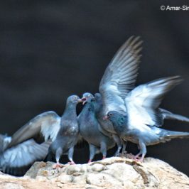 Rock Pigeon – adult feeding crop milk to 4 juveniles