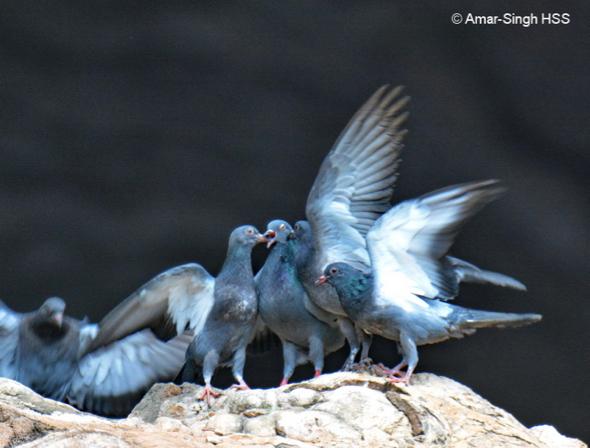 Rock Pigeon – adult feeding crop milk to 4 juveniles