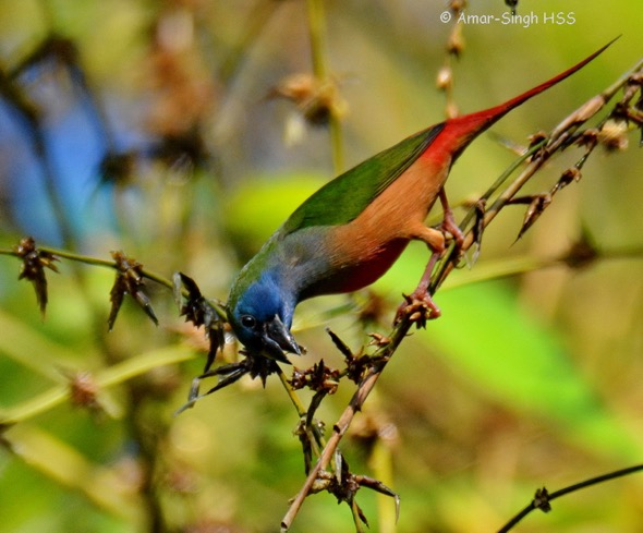 Pin-tailed Parrotfinch-6a-Kledang-Sayong Forest Reserve, Ipoh, Perak, Malaysia-25th July 2016 (1)