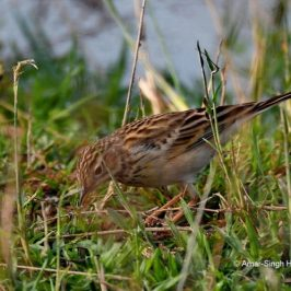 Migratory Blyth's Pipit sighted