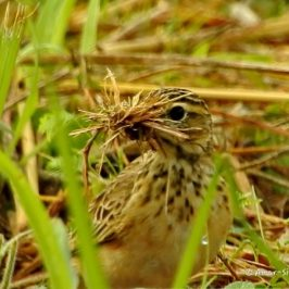Paddyfield Pipit – nest building