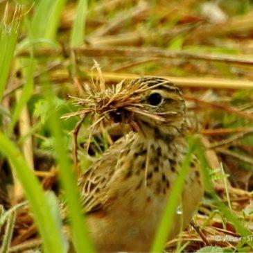 Paddyfield Pipit – nest building