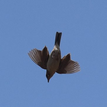 Upland Pipit taking off…