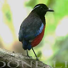 © Observation of Black-headed Pittas Whistling in N. Borneo