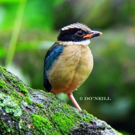 © Monitoring Series Blue-winged Pitta 2016: In Search of…  Vacated Nest Site of Pitta PART 5
