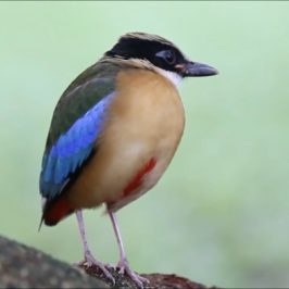 Blue Winged Pitta landed in Hougang Estate, Singapore