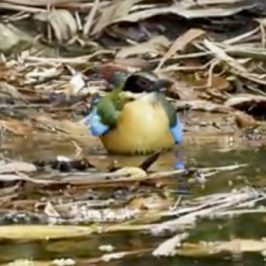 Blue-winged Pitta takes a bath, then preen