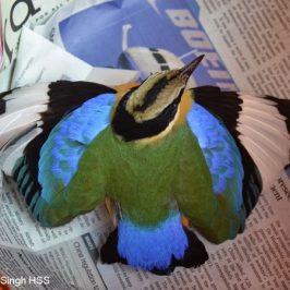 Injured Blue-winged Pitta