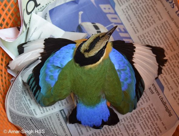 Injured Blue-winged Pitta