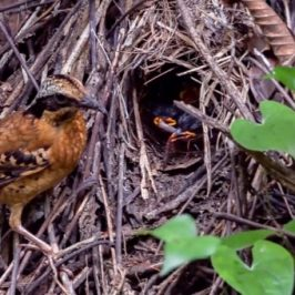 Adult Eared Pittas feeding chicks in the nest