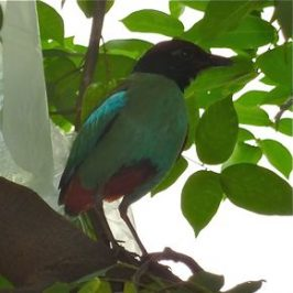 A Hooded Pitta visits Joyce's backyard