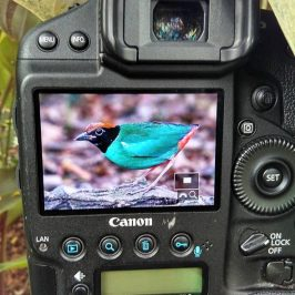 The Hooded Pitta season is here again: 2. Enforcement