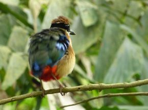 Call of the Mangrove Pitta at Pasir Ris