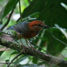 Rusty-naped Pitta – calls