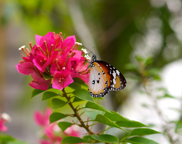 The Plain Tiger butterfly and Bougainvillea flowers