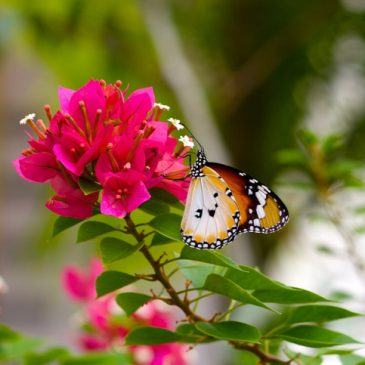 The Story of the Plain Tiger butterfly