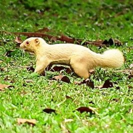 ALBINO PLANTAIN SQUIRREL