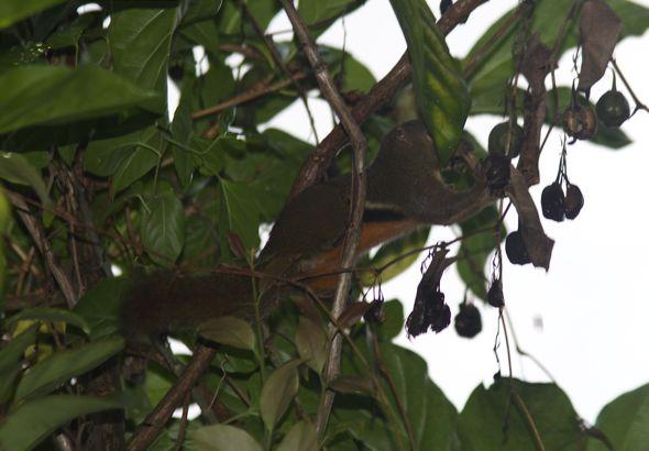 Plantain Squirrel eats Aristolochia acuminata fruit
