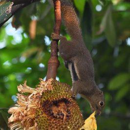 Plantain Squirrel feeds on Jackfruit