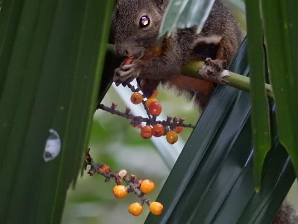 Plantain Squirrel eating Licuala spinosa fruit