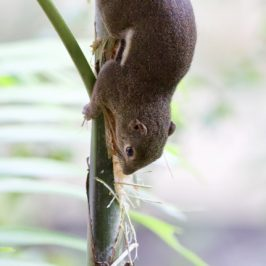 Plantain Squirrel feeding on palm shoot