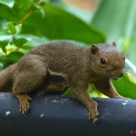 Plantain Squirrel grooming/pleasuring itself
