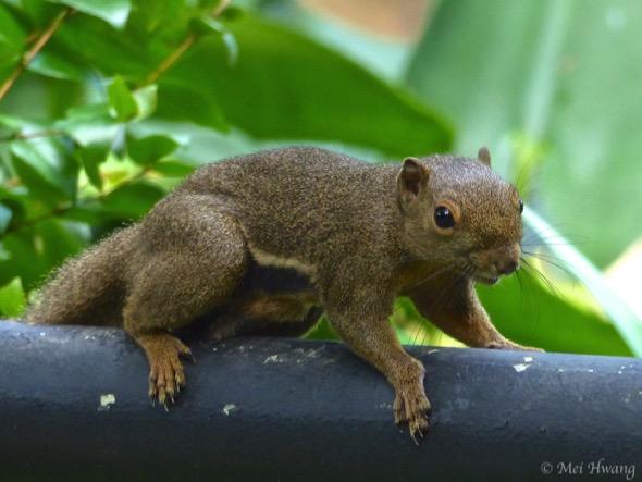 PlantainSquirrel [MeiHwang] 1