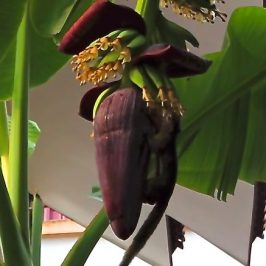 Plantain Squirrel feeding on banana flower nectar
