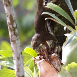 Plantain Squirrel collecting nesting material