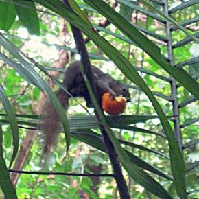Plantain Squirrel eating tangerine