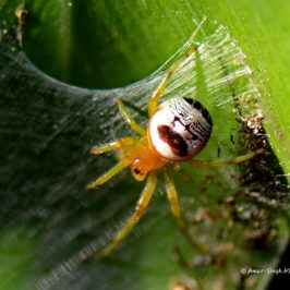Kidney Garden Spider: Defence and Prey Capture