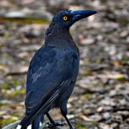 Seed Pellet Regurgitation by the Endemic Black Currawongs of Tasmania