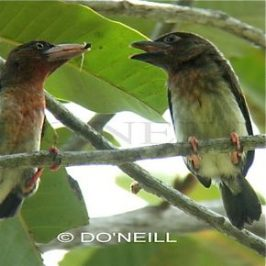 ©Foraging Behavior of Borneo's Endemic Brown Barbets