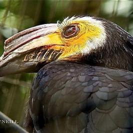 ©A Peep Behind Wallacea Line For Sulawesi Tarictic Hornbill
