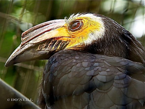 ©A Peep Behind Wallacea Line For Sulawesi Tarictic Hornbill