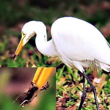 © A July Date With Great Egret in Sepilok – N. Borneo