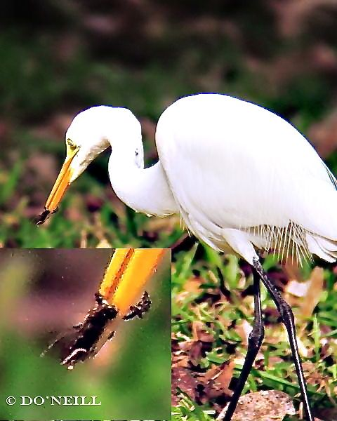 © A July Date With Great Egret in Sepilok - N. Borneo