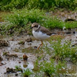 """Foot-trembling"" feeding method of the Little Ringed Plover"
