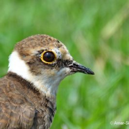 Little Ringed Plover – gular flutter and age