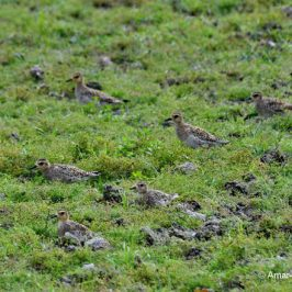 Pacific Golden Plover – flock