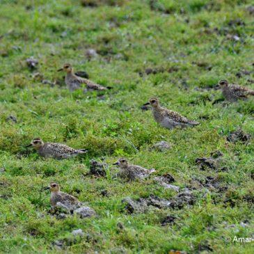 Pacific Golden Plover – flock