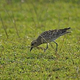 Pacific Golden Plover feeding
