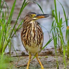 Chinese Pond-heron: Non-breeding