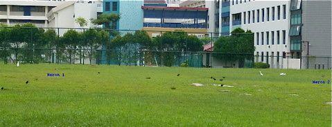 Chinese Pond-heron In Bishan Park
