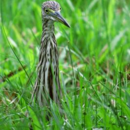 CHINESE POND-HERON – PLUMAGE TRANSITION
