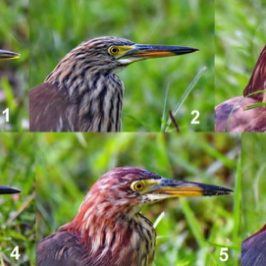 Chinese Pond-heron – plumage transition/changes