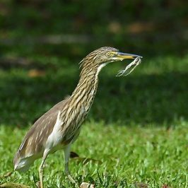 Chinese Pond-heron – odd behaviour
